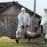 Россия не может экспортировать мясо в Китай из-за африканской чумы