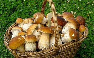 Как отличить съедобные грибы