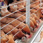 Производство птицы в РФ постепенно набирает обороты