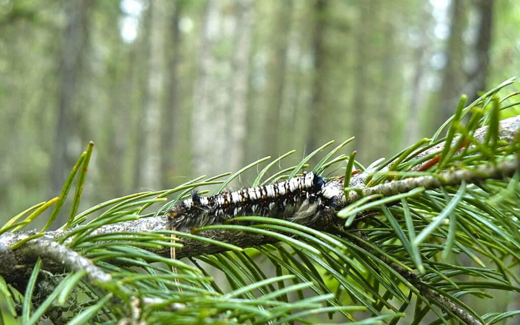сибирский шелкопряд