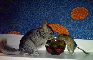 Шиншиллы с другими животными