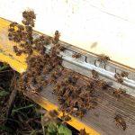 Среднерусская пчела: особенности разведения как бизнес