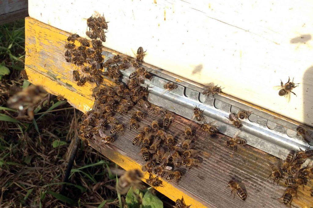 Пчелы среднерусские