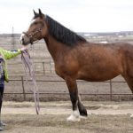 Лошади тяжеловесы Ивановской области снова на первом месте