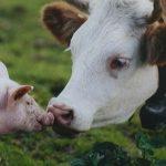 Калининградская область наращивает обороты в животноводческой отрасли