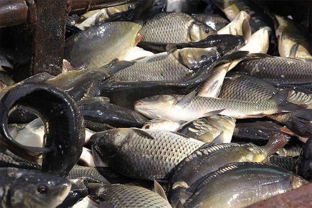 В тверской области развивают аквакультуру