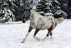 Лошади алтайской породы скачет по снегу