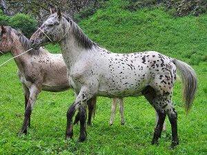 Лошади алтайской породы на пастбище