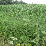 Минсельхоз Кубани разрабатывает план борьбы с амброзией