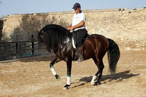 Андалузы - легко обучаемая порода лошадей
