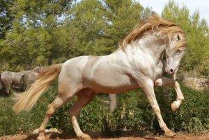 Фото андалузской породы лошадей
