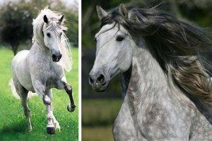 Лошадь андалузской породы