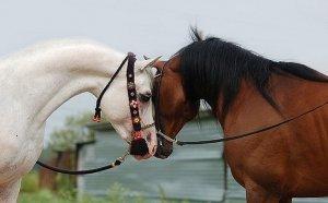 Пара арабской породы лошадей