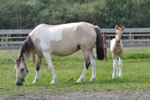 Башкирская порода лошади с жеребенком