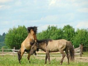 Два коня башкирской породы