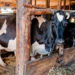В Кировской области ожидают рекордных удоев молока
