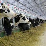 На молочно-товарной ферме «Вереск» закончилась комплектация КРС