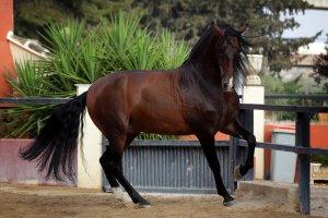 Испанская лошадь, андалузская порода