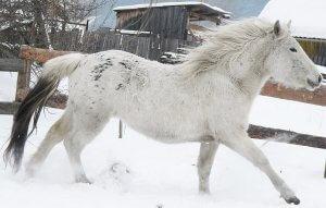 Алтайская лошадь – легенда Алтайского края