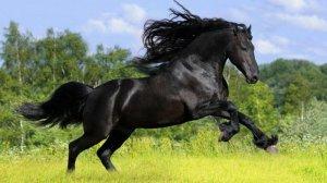 Черная андалузская лошадь