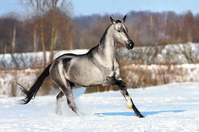 Ахалтекинская лошадь бежит по снегу