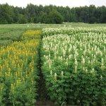 Использование белого люпина в создании кормовой базы для крупнорогатых животных обсуждали на семинаре в Нижегородской области