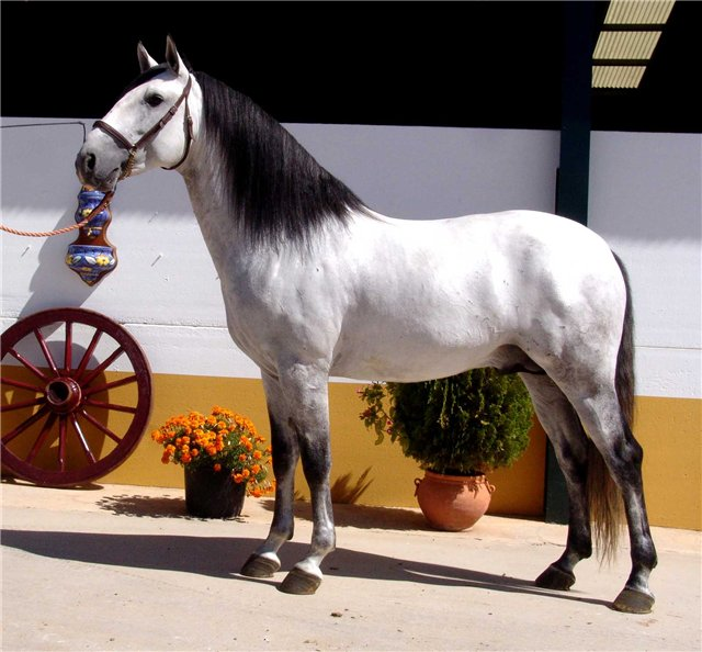 Фото лузитанская лошадь