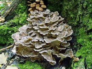 Гриб майтаке растет на дереве