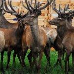 Мараловодство: особенности отрасли и разведение животных как бизнес