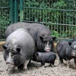 Как построить правильный свинарник