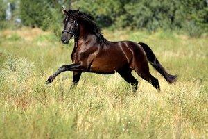 Лошадь, порода андалузская
