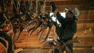 Работа фермы по разведению маралов в республике Алтай