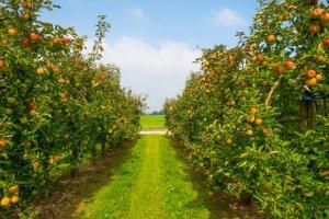 Калиниградская область наращивает производство плодов и фруктов.
