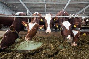 Содержание айрширской породы коров