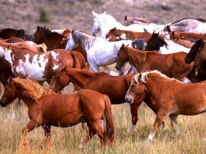 Табун лошадей башкирской породы