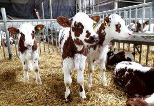 Телята айрширской породы коров