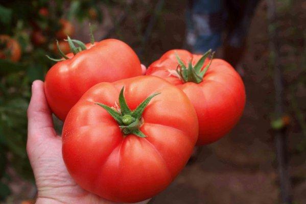 На КУбани будут производить собственные семена томатов