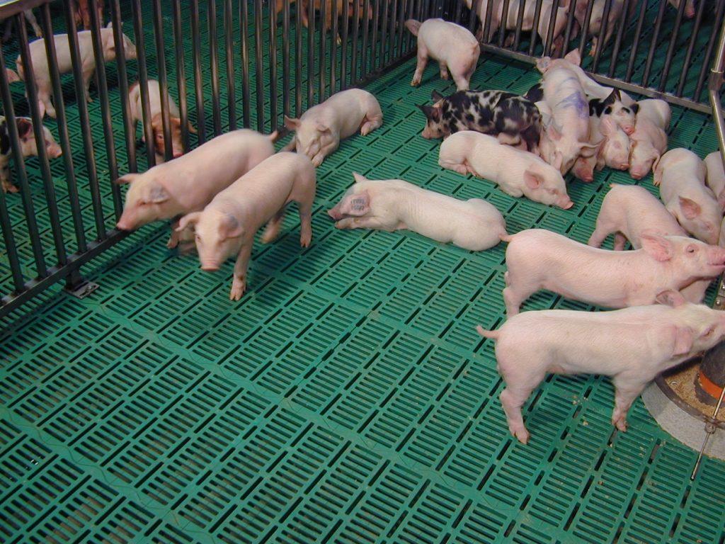 Щелевые полы для свинарников