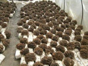 Выращивание грифолы курчавой
