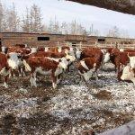 Сельскохозяйственные животные Бурятии практически полностью обеспечены кормами на зимний период