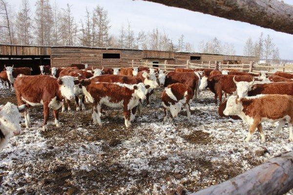 Зимовка скота в Бурятии проходит нормально