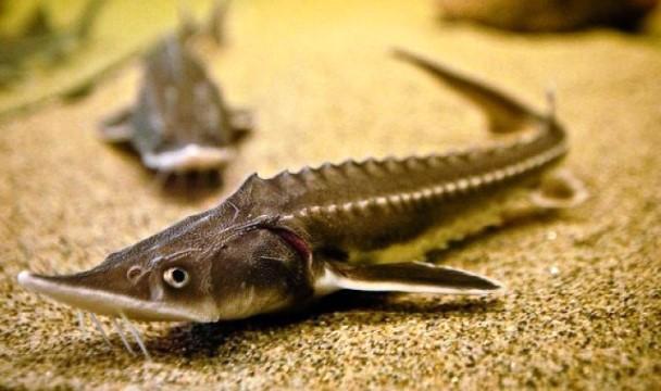 КАлужская область наращивает темпы производства рыбы.