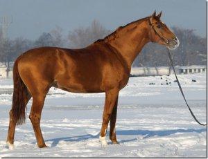 Порода лошадеы буденновская