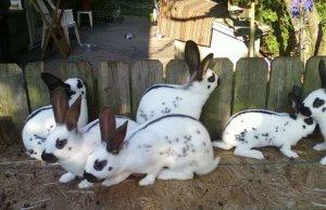 Домашние кролики породы бабочка