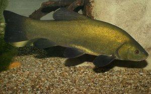 Линь рыба: особенности выращивания и ухода
