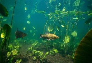 Середовище обитания рыбы линь