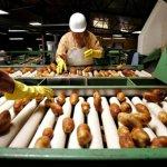 В Липецкой области серьезно намерены расширять посевные площади под картофель