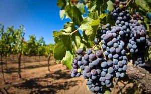 Приусадебное виноградарство
