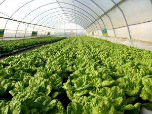 Промышленное овощеводство в России