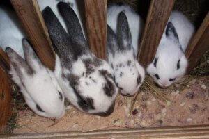 Кормление домашних кроликов бабочек